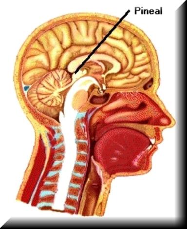 La glándula pineal, que estaba muy desarrollada en el hombre primitivo, tenía un papel capital.