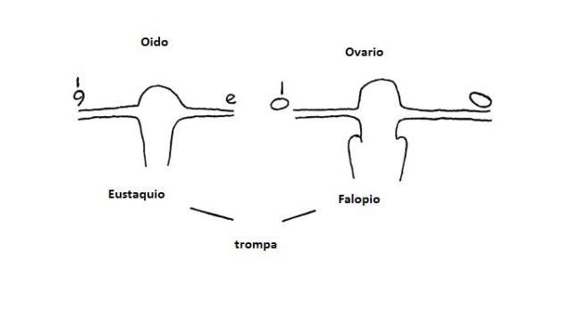 Trompas de Eustaquio y Falopio